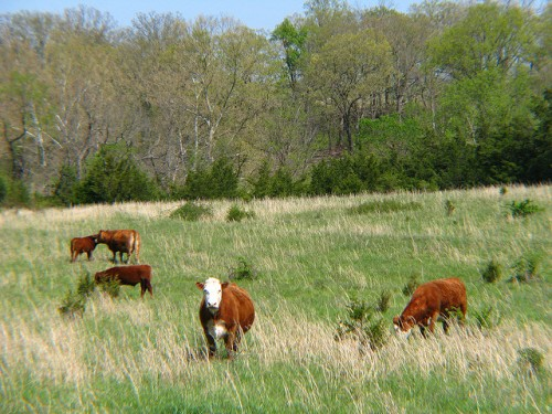 cattle-pasture-ozarks